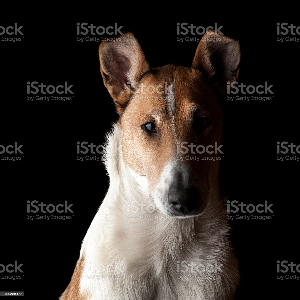 Portrait of a Smooth Collie in the dark stock photo
