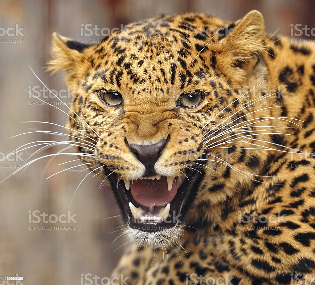 Portrait of a snarling leopard stock photo