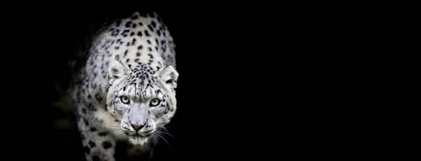 Porträtt av en snöleopard med svart bakgrund bildbanksfoto