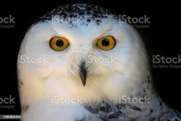 Portrait of a snowy owl picture id1090905454?b=1&k=6&m=1090905454&s=612x612&h=htqangwn2du5ehpjxzr0qwnjbkgsu2rst kvjmq qoe=