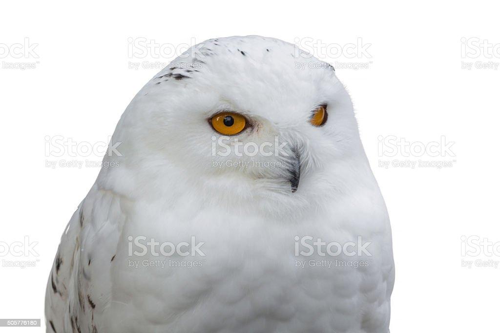 Portrait of a Snowy Owl stock photo