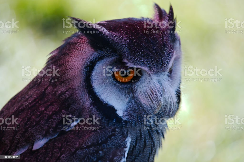 Portrait of a South African Scops owl royalty-free stock photo