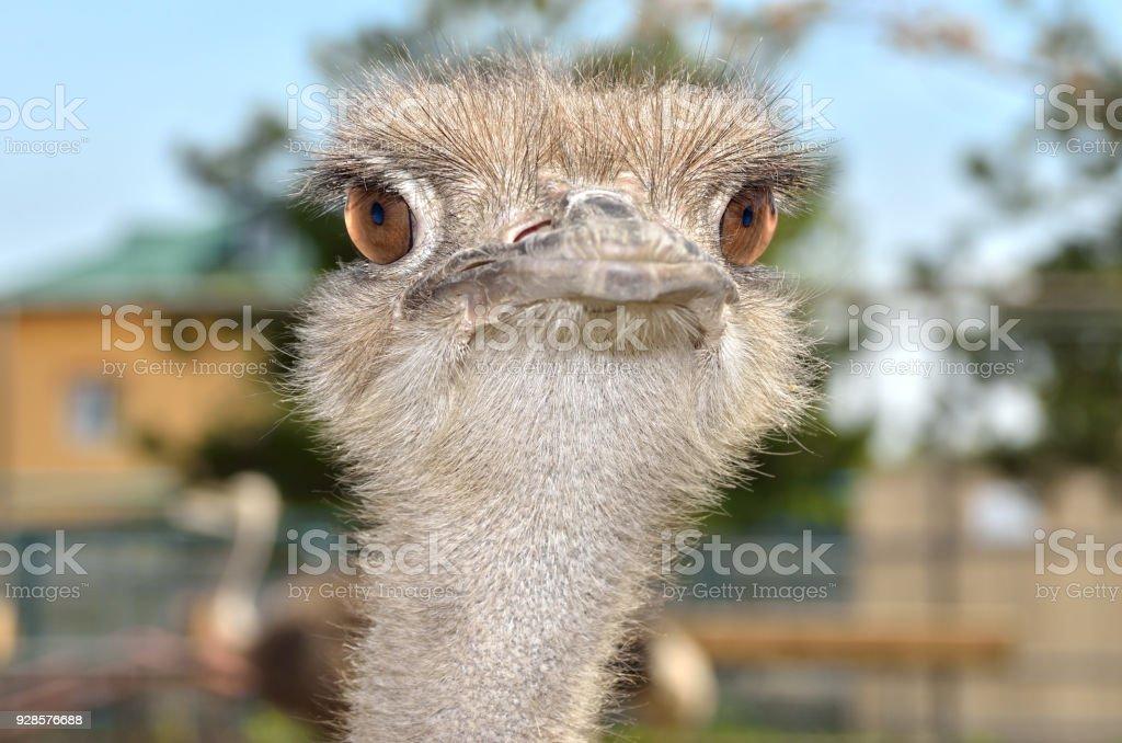 Portrait of a South American ostrich Nandu close-up stock photo