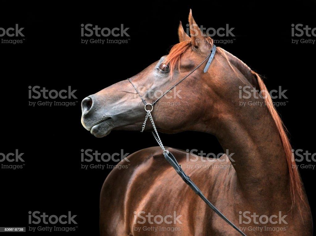 Retrato de un espléndido semental pura raza árabe contra un fondo negro - foto de stock