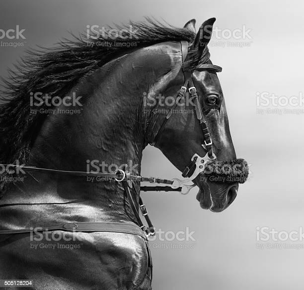 Portrait of a sports stallion in a hackamore picture id505128204?b=1&k=6&m=505128204&s=612x612&h=wro6phjaz2tkkqzy mvtvkcwcgalb5ejhkoizyn9dwk=