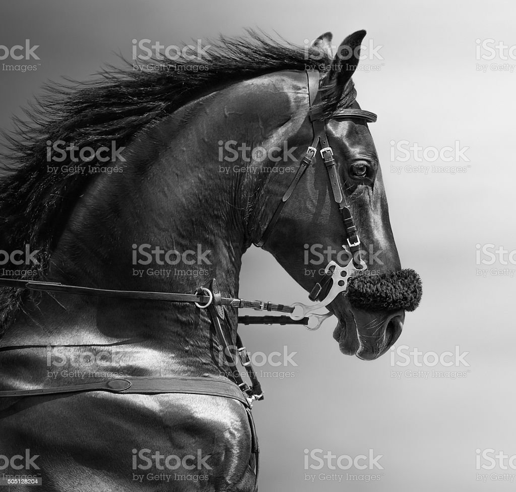 Portrait of a sports stallion in a hackamore stock photo