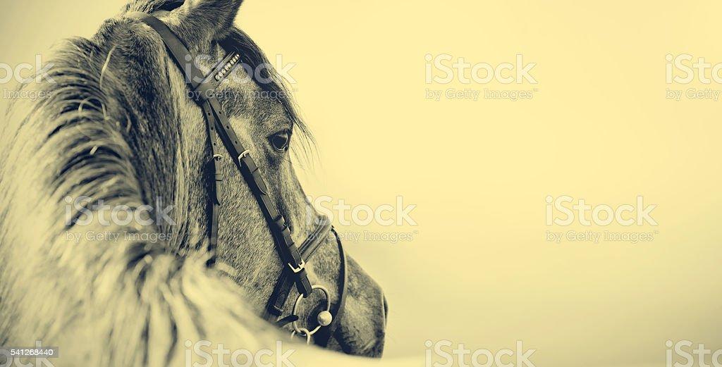 Portrait of a sports stallion stock photo