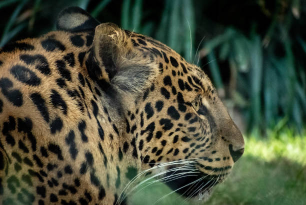 portrait of a spotted leopard stock photo