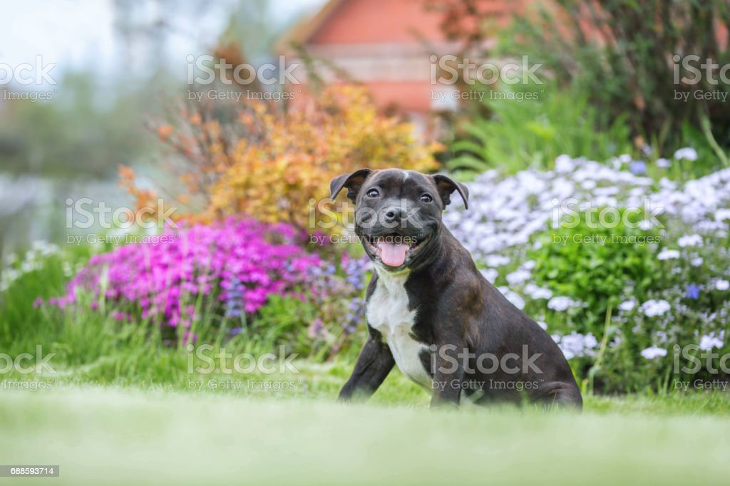 Portrait of a staffordshire bull terrier puppy stock photo