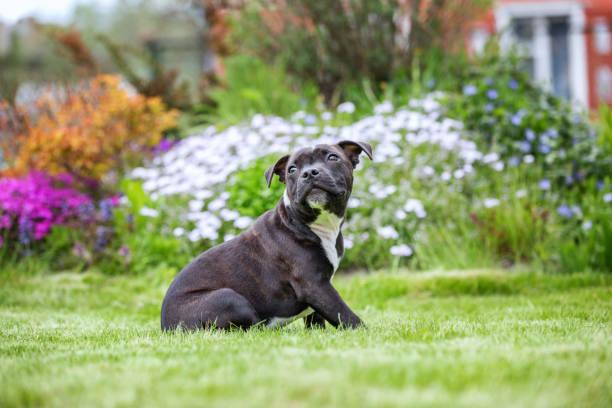 porträt eines staffordshire bull terrier welpen - pitbull welpen stock-fotos und bilder