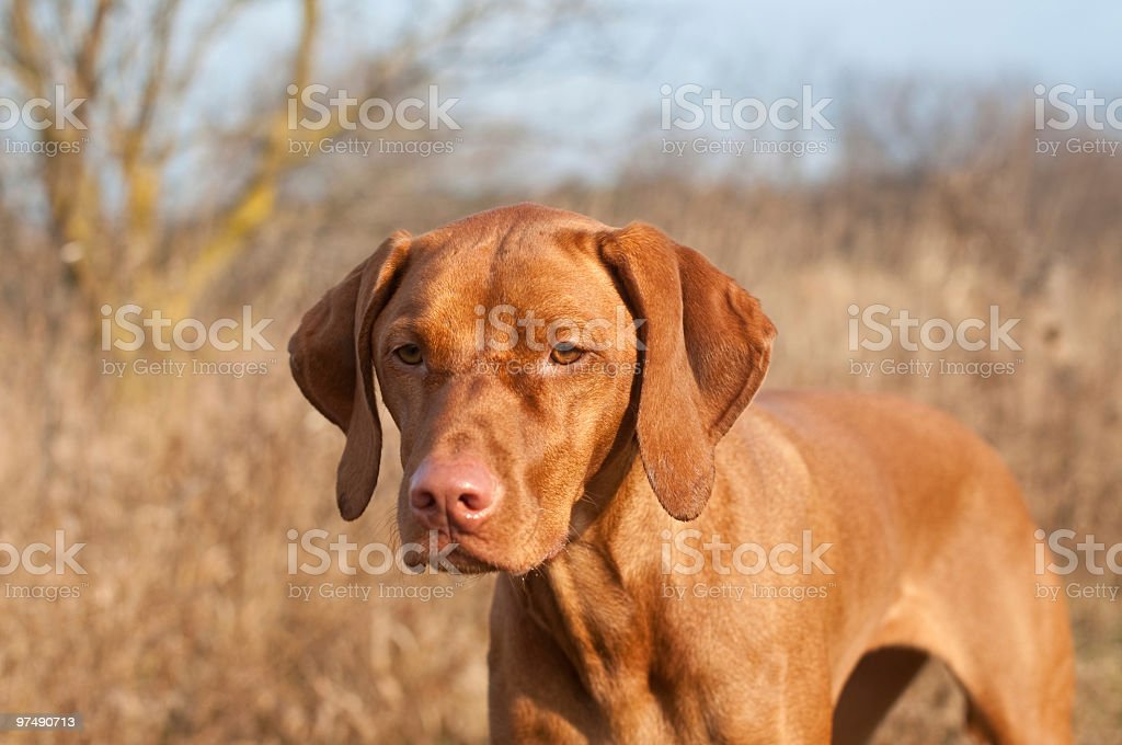 Portrait of a Standing Vizsla Dog royalty-free stock photo