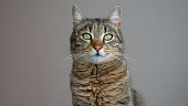 A portrait of a striped cat with green eyes looking straight into the camera. Copy space for text. Negative space.