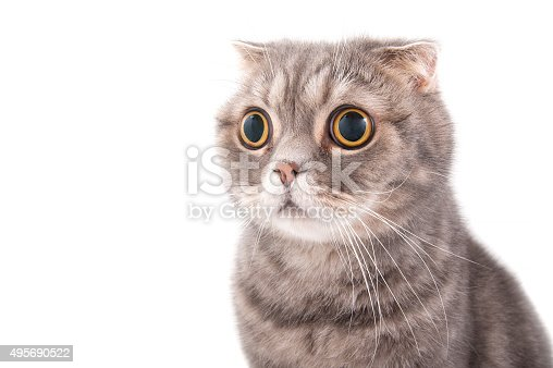 istock Portrait of a surprised cat breed Scottish Fold. 495690522
