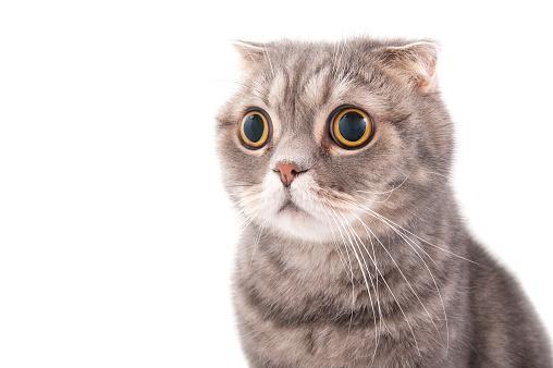 Portrait of a surprised cat breed Scottish Fold.