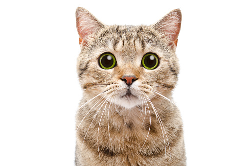 istock Portrait of a surprised cat Scottish Straight closeup 910314172