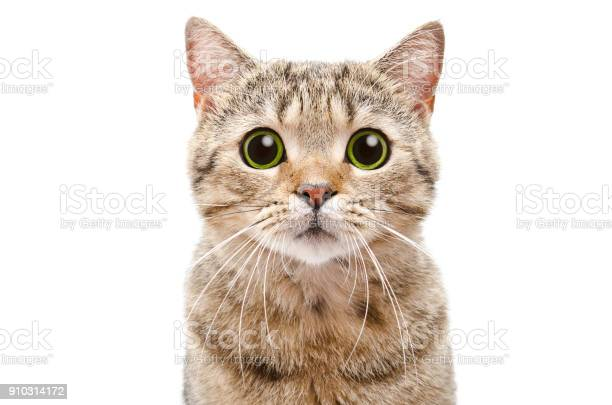 Portrait of a surprised cat scottish straight closeup picture id910314172?b=1&k=6&m=910314172&s=612x612&h=k7y6wvlc1q18zwuwo8dn3m8xrsr80k7sagv4vo3akjg=
