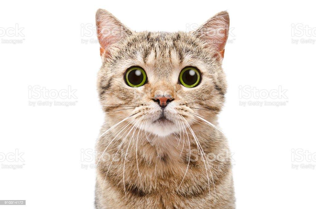Portrait of a surprised cat Scottish Straight closeup stock photo