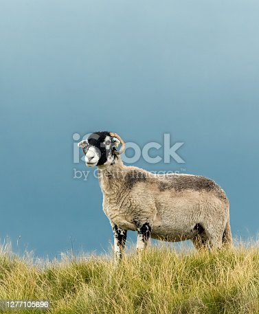 Swaledale ewe or female sheep, stood in rough pastureland on a Yorkshire Dales Grousemoor.  Facing left.  Vertical.  Space for copy.