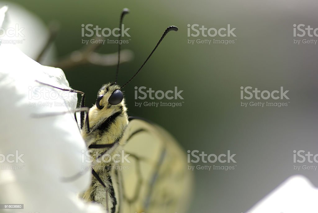 Portrait of a swallowtail (Papilio machaon) royalty-free stock photo