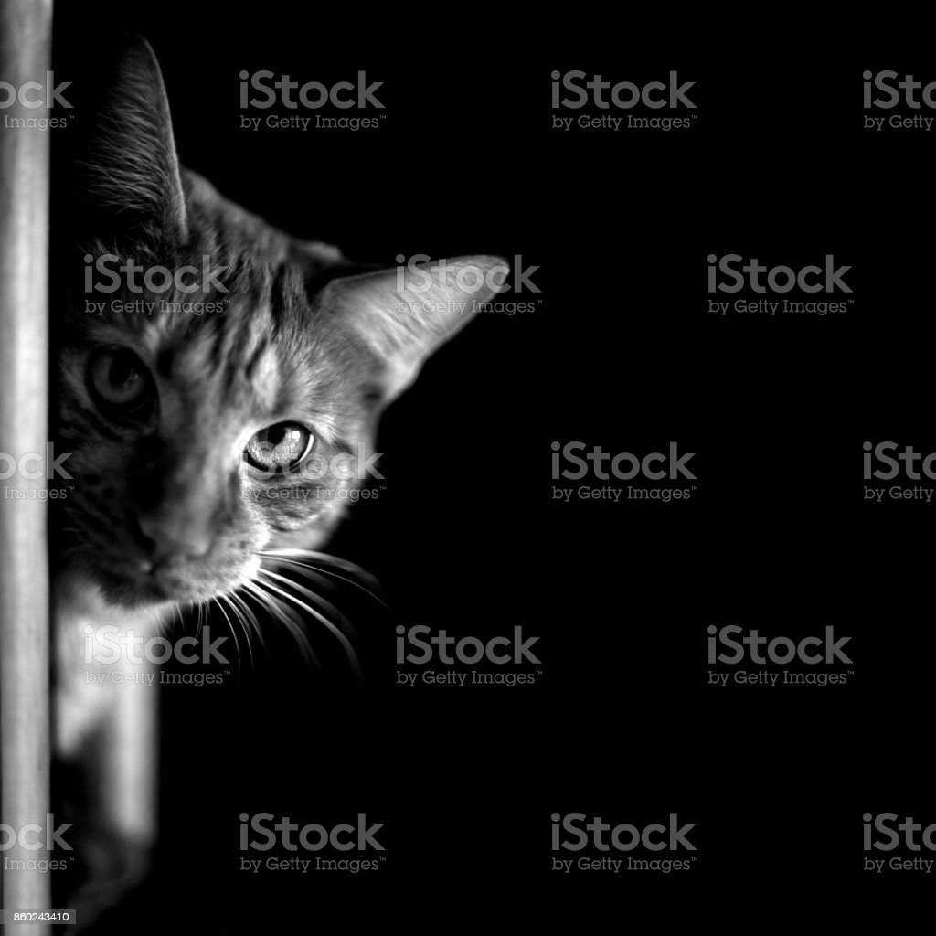 Portrait of a tabby cat in black and white. stock photo