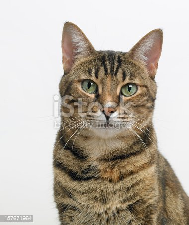 A formal portrait of a beautiful young Bengel cat against a light background.