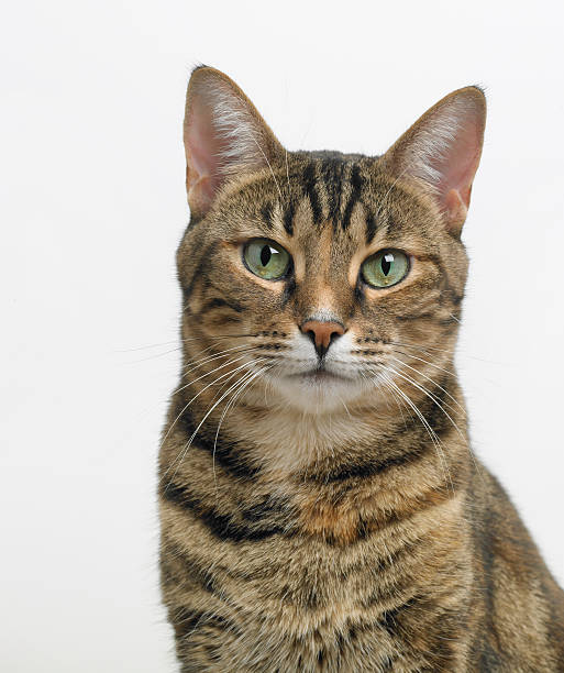 Portrait of a tabby cat looking at the camera stock photo
