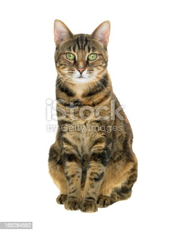 A portrait of a beautiful young Bengel cat sitting down on a white background.