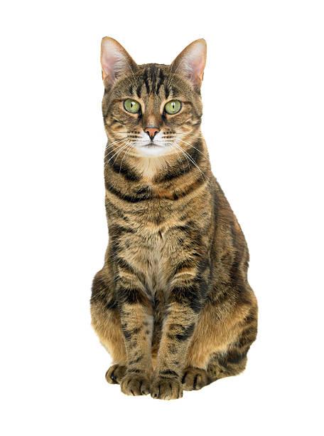 portrait d'un chat tigré, tabby sur fond blanc - tigre photos et images de collection