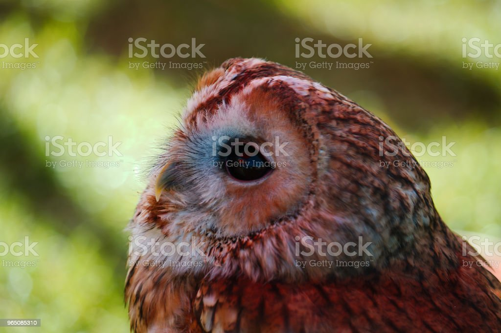 Portrait of a Tawny owl royalty-free stock photo