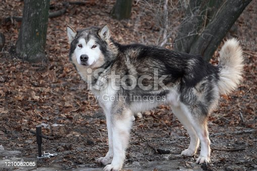 Portrait of a thoroughbred animal dog breed Alaskan Malamute. Adult obedient pet beautiful gray fluffy well-groomed dog tied to a chain on nature in the autumn forest on a leash