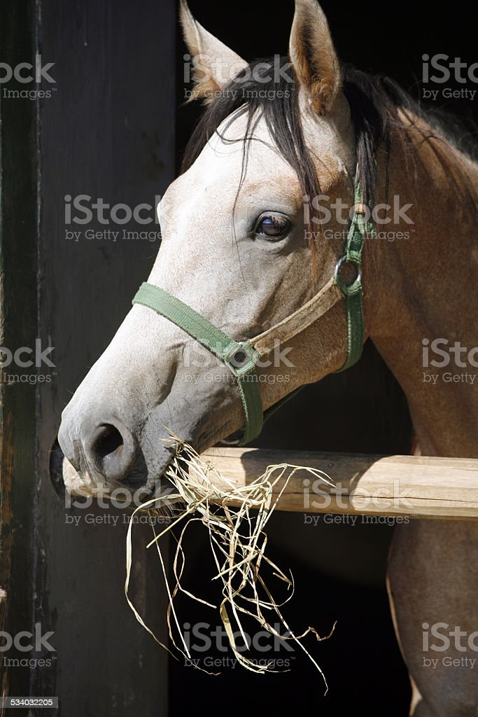 Portrait of a thoroughbred gray arabian horse stock photo