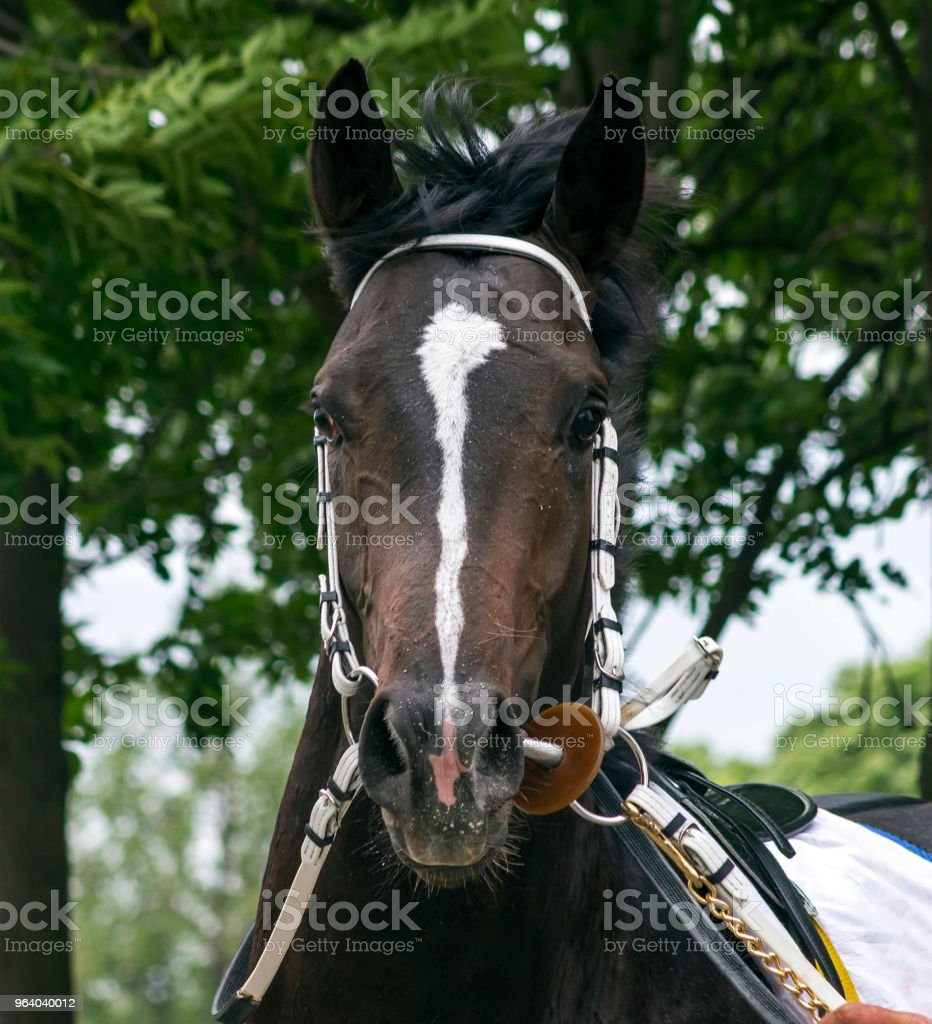 Portrait of a thoroughbred horse. - Royalty-free 2018 Stock Photo
