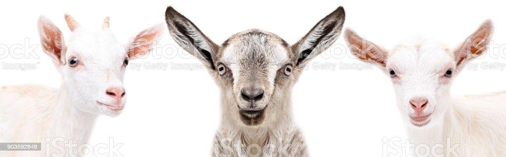 Portrait of a three  goat closeup stock photo