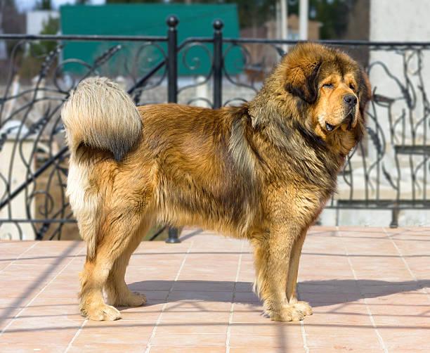 Portrait of a Tibetan Mastiff stock photo