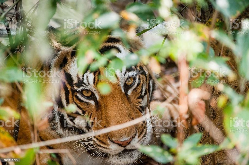 Portrait of a tiger in bushes. stock photo