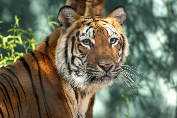 portrait of a tiger stock photo