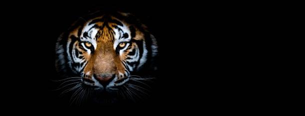 Porträtt av en Tiger med svart bakgrund bildbanksfoto