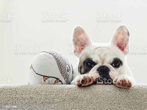 Portrait of a tired french bulldog lying next to her toy shark picture id1145327896?b=1&k=6&m=1145327896&s=612x612&h=zt vsrv07kfpyqfdhg36mivkw7nbinlviuwnfsdrxia=