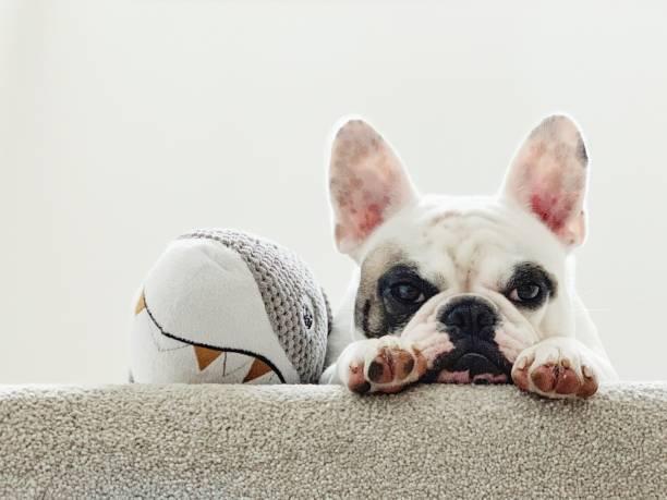 porträt einer müden französischen bulldogge, die neben ihrem spielzeughai liegt - teppich englisch stock-fotos und bilder