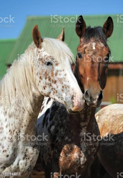 Portrait of a two unusua horses picture id1217144017?b=1&k=6&m=1217144017&s=612x612&h= xoyihnzl66j8z7uccjn9p5k7ygitgenpd tc clwgu=