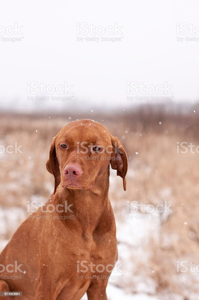 Portrait of a Vizsla Dog with Falling Snow in Winter royalty-free stock photo