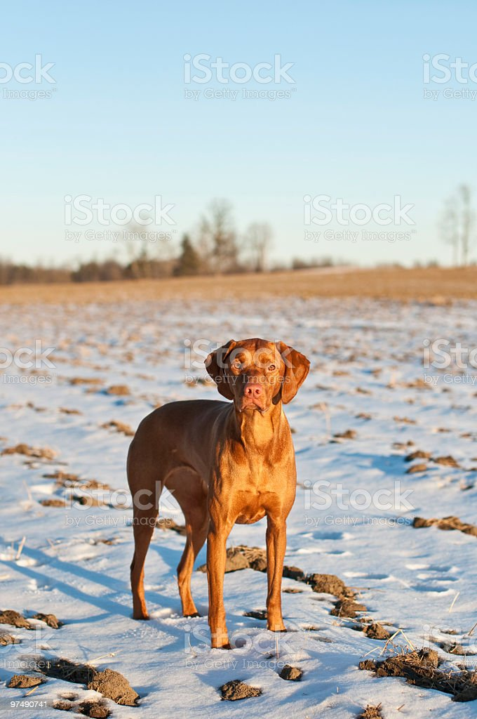 Portrait of a Vizsla Dog with Snowy Field royalty-free stock photo