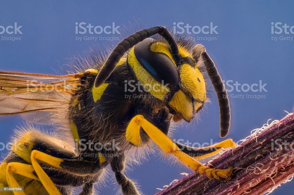 Portrait of a wasp closeup stock photo