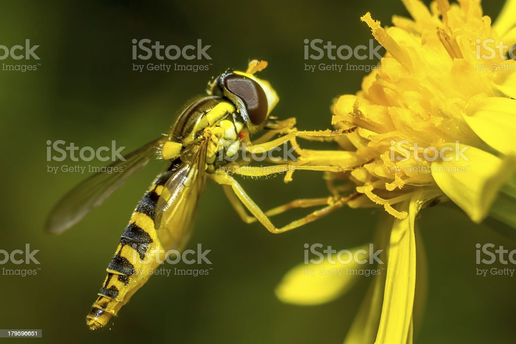 Portrait of a wasp royalty-free stock photo