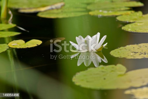 Portrait of a waterlilly in a calm pond trough grass, the waterlilly reflected in the pond