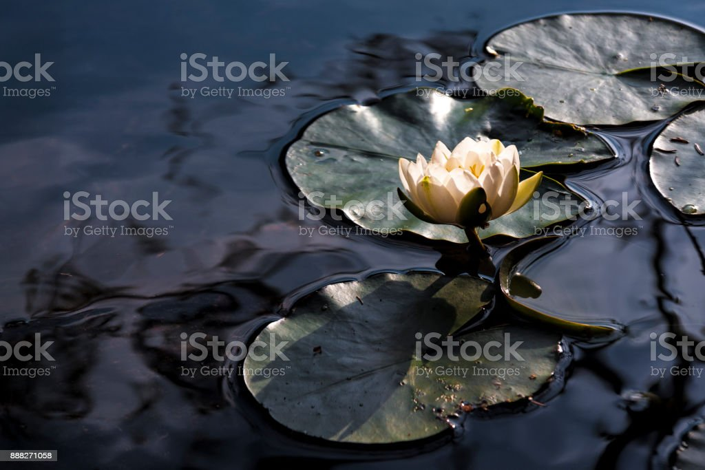 Portrait of a waterlily stock photo