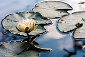 Portrait of a waterlily in a calm pond