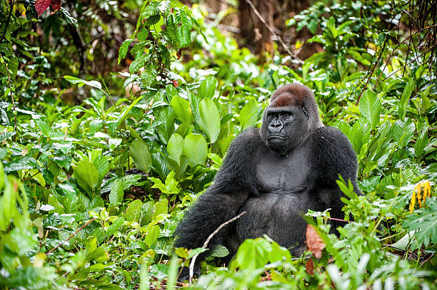 retrato de un gorila occidental de llanura - gorila fotografías e imágenes de stock