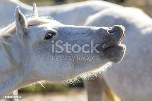 Portrait of a wild, white Camargue horse whinnying in the south of France.