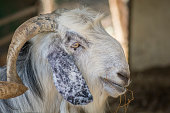 Portrait of a white Anglo-Nubian domestic goat, a British breed.